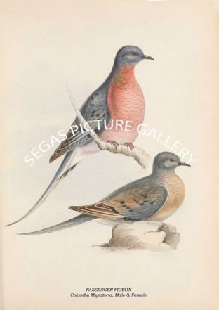 PASSENGER PIGEON - Columba Migratoria, Male & Female